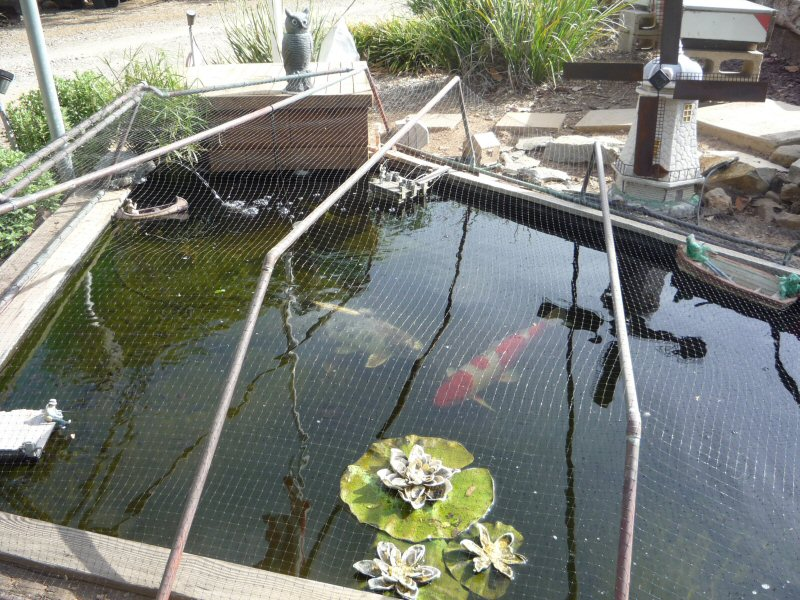 Fish pond thieves caught page 4 for Koi pond forum